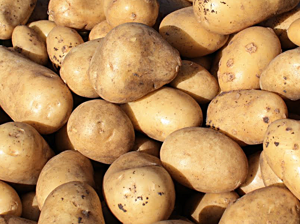 Early harvest potatoes