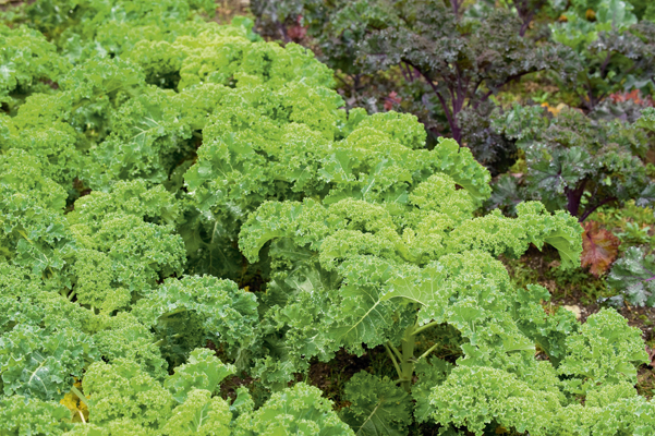 Kale Dwarf Green Curled next to Kale 'Scarlet', Brassica oleracea