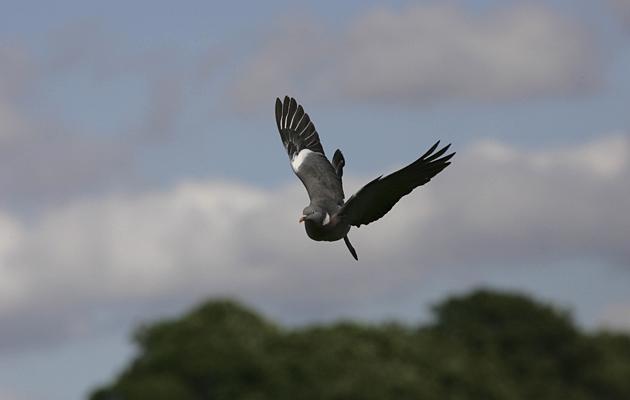 Pigeon shooting: top ten tips for decoying - The Field