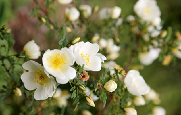 Hardy roses