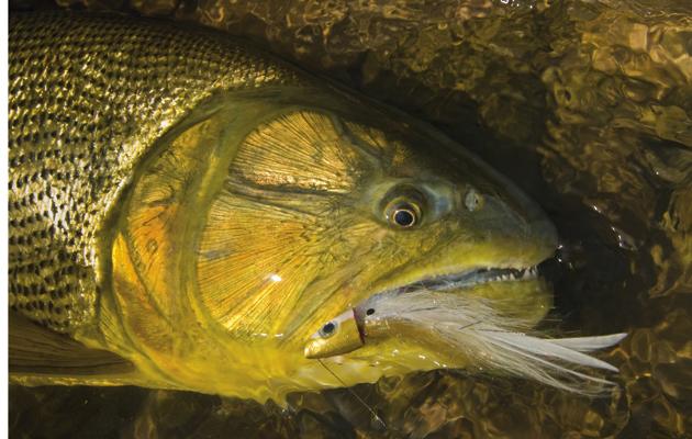 Fly fishing for golden dorado on the amazon the field for Golden dorado fish