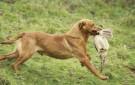 A smart retrieve of a hen pheasant