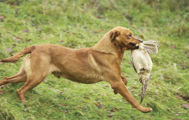 A smart retrieve of a hen pheasant