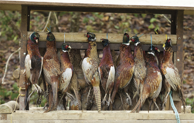 The Top 10 best pheasant recipes need the right game to start with...