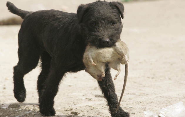 Best Breed For Rodent Hunting Dogs