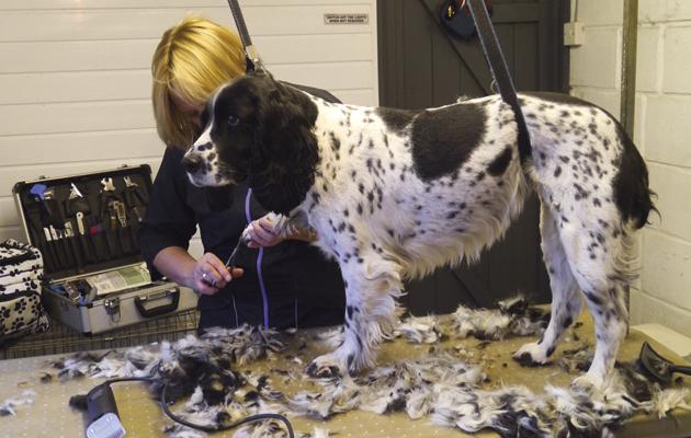 Grooming A Field Spaniel Gundog grooming - top ...