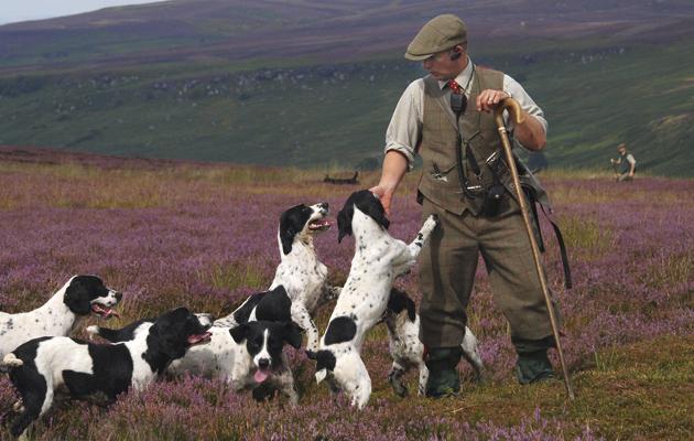 Gundog grooming. Spingers on the grouse moor.