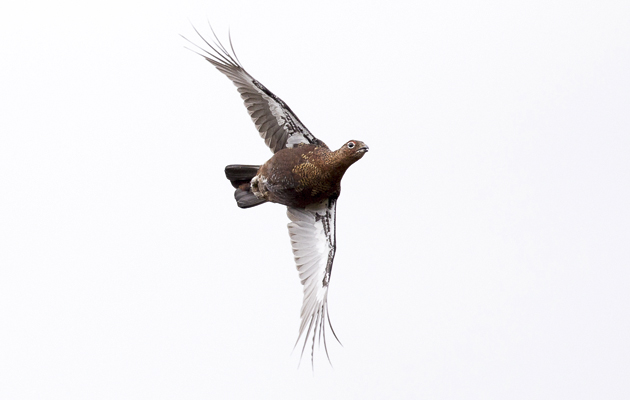 How to shoot grouse. Grouse on the wing.
