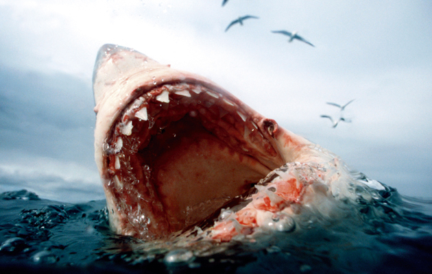 Great white sharks. Open water.