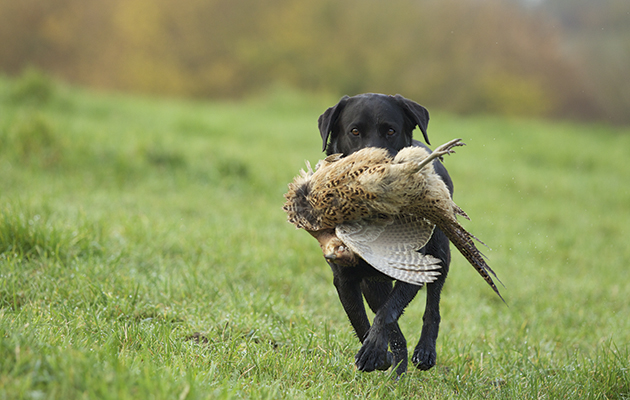 Best Pheasant Dog