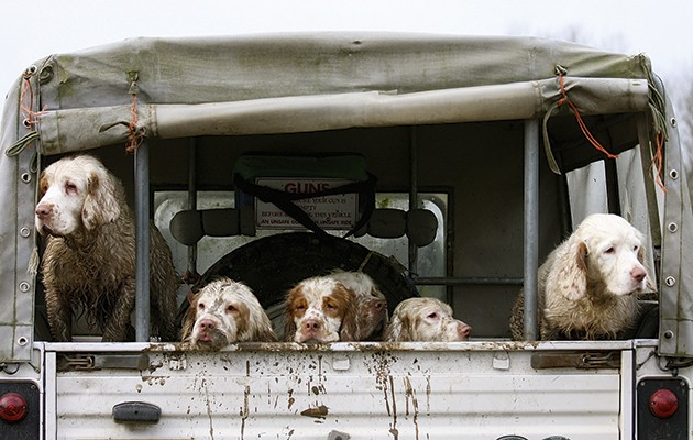 The clumber spaniel. A clutch of clumber spaniels.