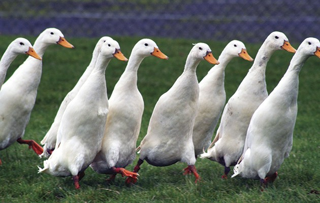 fun ducks are in demand says willy newlands we suggest the best