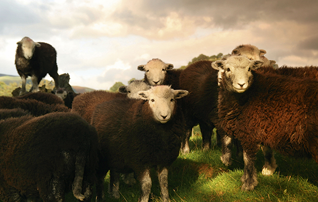 Sheep breeds: why we're always a little sheepish - The Field