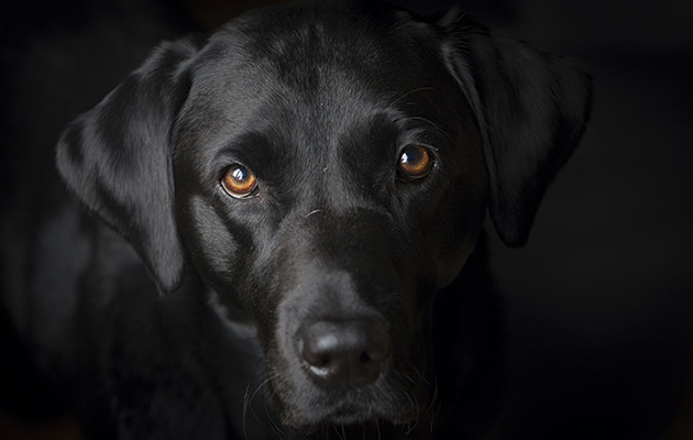 Labradors Are The Best Dogs