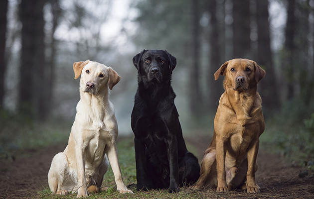 Best Labrador Colour Does Coat Make A