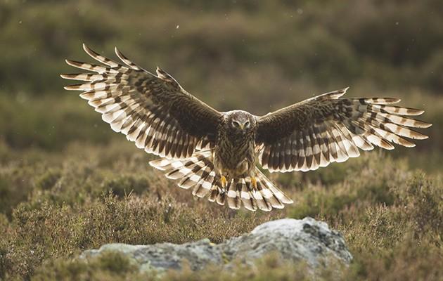 Conservation conflict. hen harrier