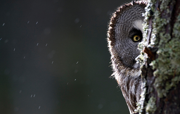 Conservation conflict. Owl