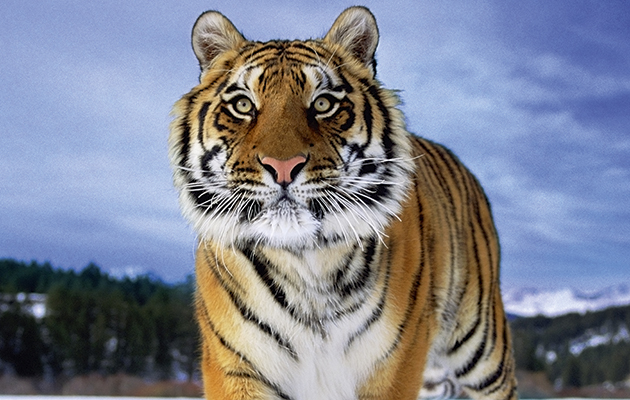 Conservation conflict. Tiger