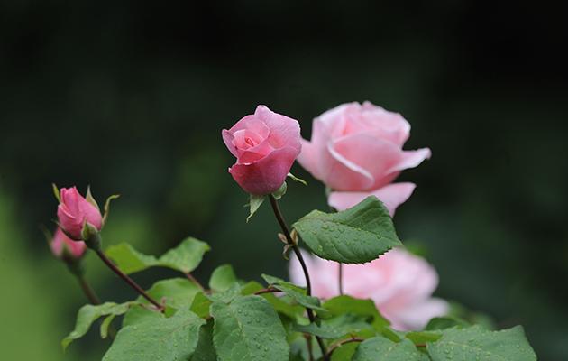 Things named after Queen Elizabeth II. Rose