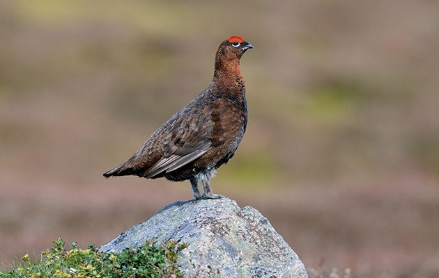 Grouse shooting petition. PLease sign to keep our grouse moors.