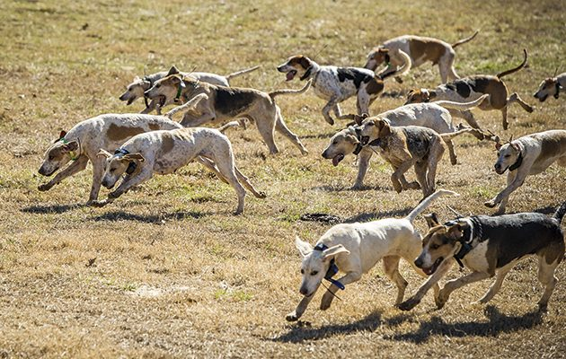 Foreign foxhounds