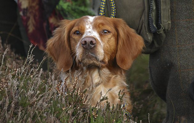 Brittany Spaniel Rivalling The Continental Hprs The Field