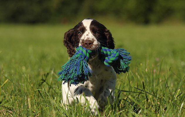 Play with a gundog puppy