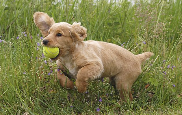 How to buy a gundog