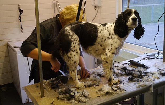 Grooming a spaniel