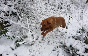 Dogs in the snow. Bramble