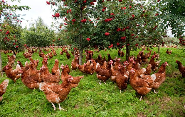 Can Chickens Be Healthy With Only Pasture As Food