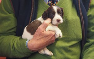 Best spaniel breed