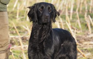 Flatcoated retrievers