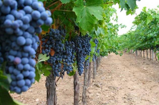 Rioja grapes