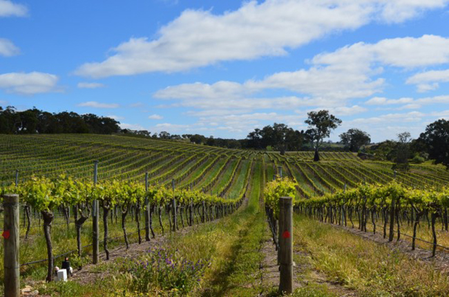 Vines in Eden Valley, Barossa