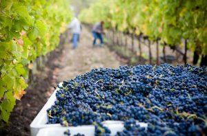Harvesting grapes in Californian vineyard