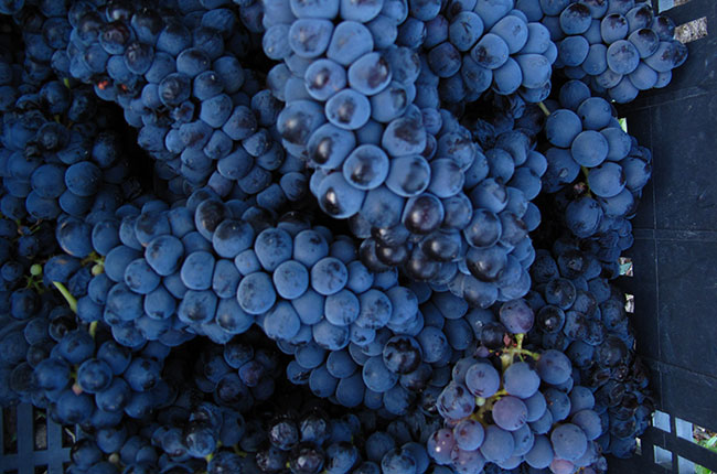 Three Argentinean grape varieties