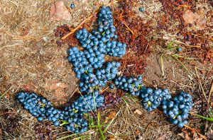 Tannat wines are making a name for themselves in Uruguay
