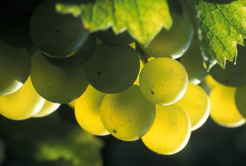 Picking Sauvignon Blanc