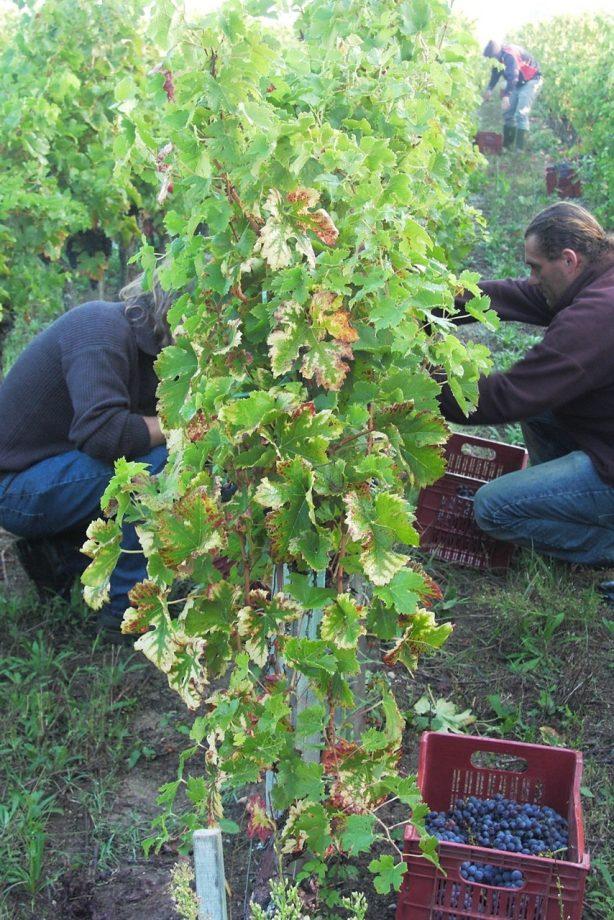 Bordeaux 2011 picture of grape harvest