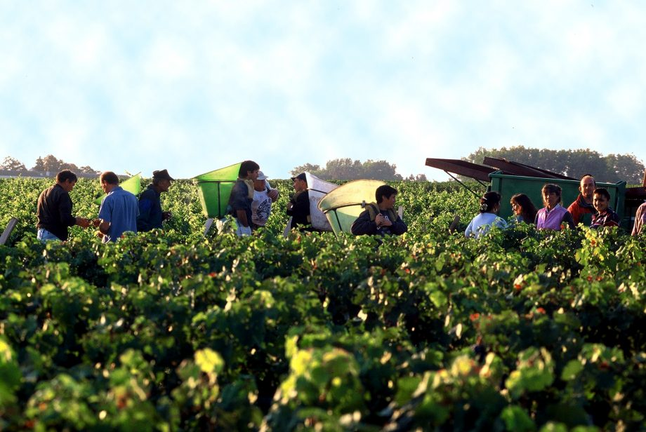 Bordeaux 2011 picture of Chateau Lafite Rothschild grape harvest