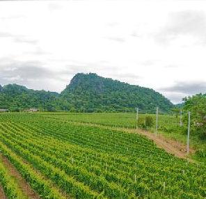Thailand vineyard