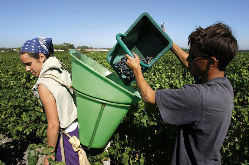 Picking in Bordeaux Harvest