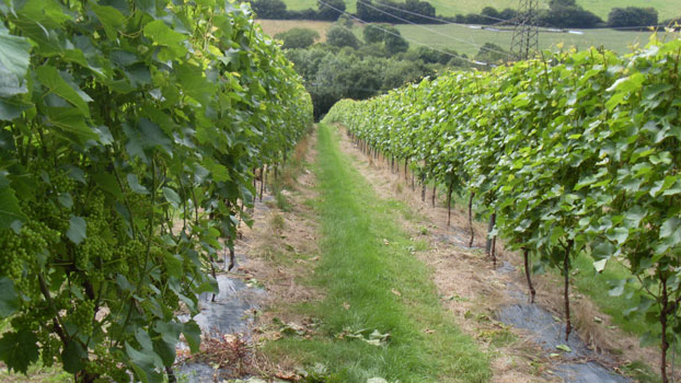 englsih vines
