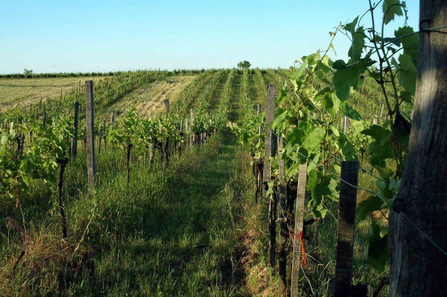 Organic vineyards in Austria