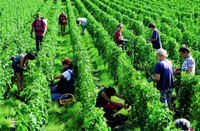 Haut-Brion white harvest