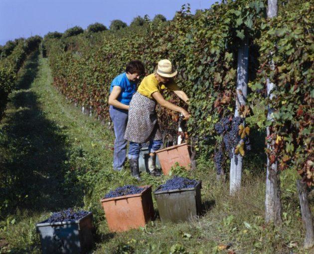 italy harvest