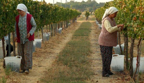 Turkish vineyard