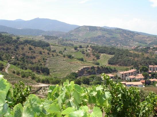 Collioure Vines