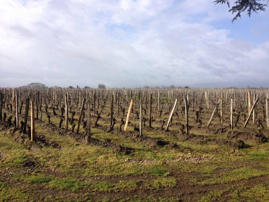 Bordeaux 2012 vines in Pomerol